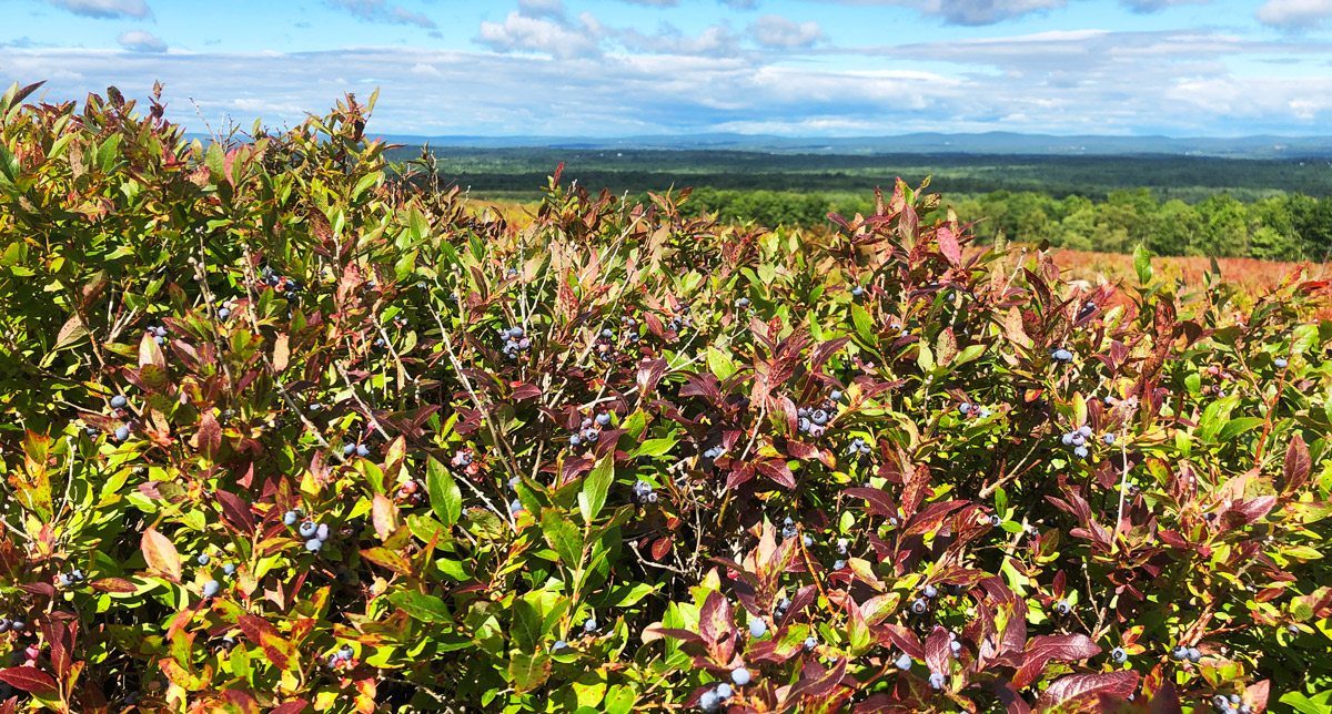 Maine's First Annual Wild Blueberry Weekend